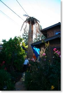 The palm tree right before it was removed.