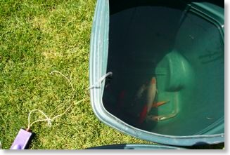 The koi were placed in a trash can for temporary housing.