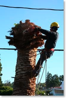 The tree trimmer is getting readt o cut the top off the palm tree.