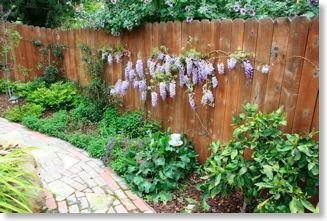 The wisteria is in full bloom along the back fence. It compliments the Arts and Crafts style brick path.
